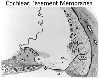 cochlear basement membranes